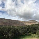 champ d'olivier