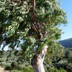 Un Eucaliptus