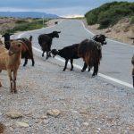 Chèvres sur une route